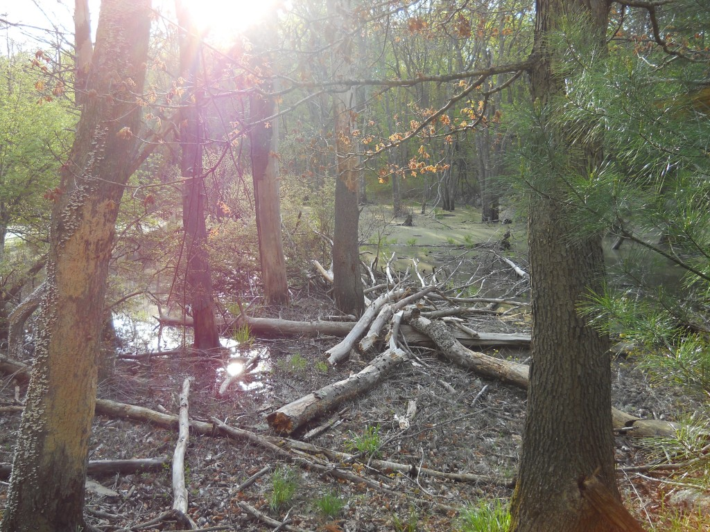 Swamp at Wrentham State Forest