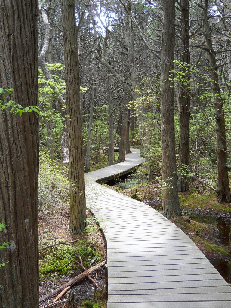 Boardwalk through the Cedar Swamp at Cape Cod National Seashore