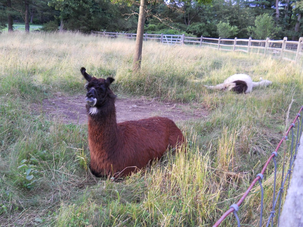 Llama enclosure at the Bradley Estate.